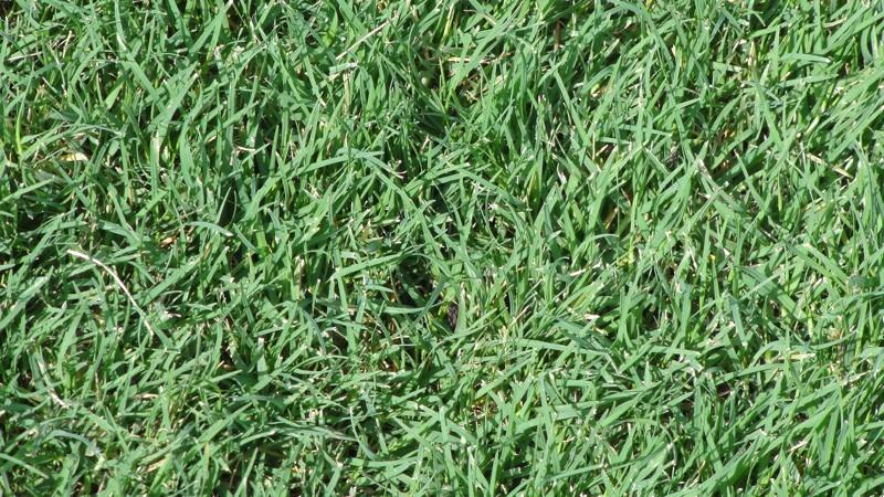 Difference Between St Augustine And Zoysia Grass Thatch In